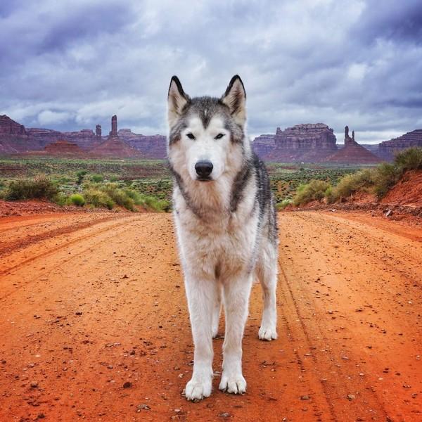 Ảnh siêu dễ thương về chú sói lai cùng chủ đi du lịch khắp thế giới 3