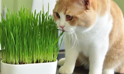 Mèo chơi cỏ phê pha cả ngày thật thú vị
